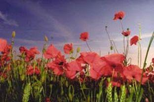 Rhs discovers some key facts about the poppy yeovil express rhs discovers some key facts about the poppy mightylinksfo