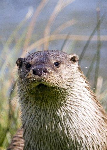 Yeovil Express: COMEBACK: An otter in Sussex. Picture by Stephen Bray
