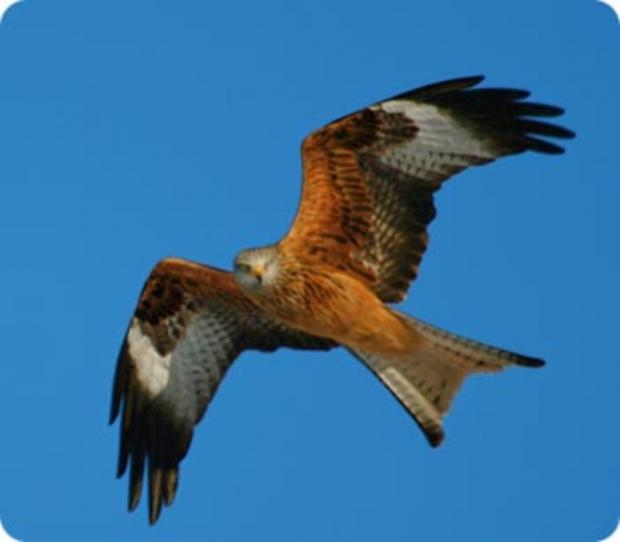 Ilminster residents spots red kite