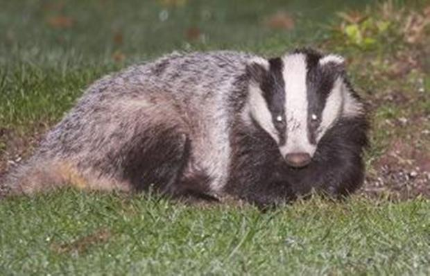 Illustrated badger talk in Crewkerne