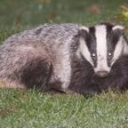 Yeovil Express: Did you know their could be badger's on your doorstep