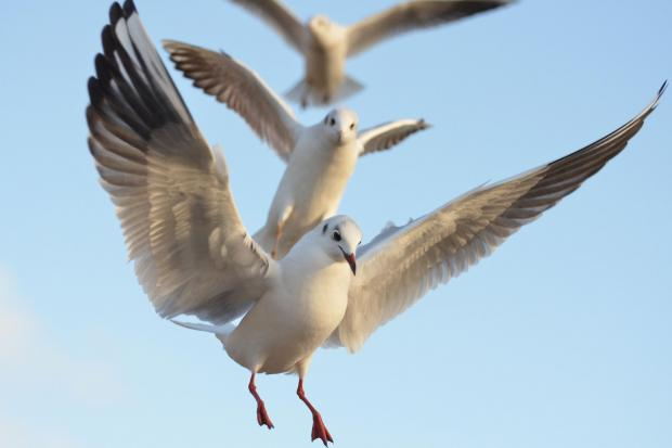 Calls to curb seagull problem in Chard
