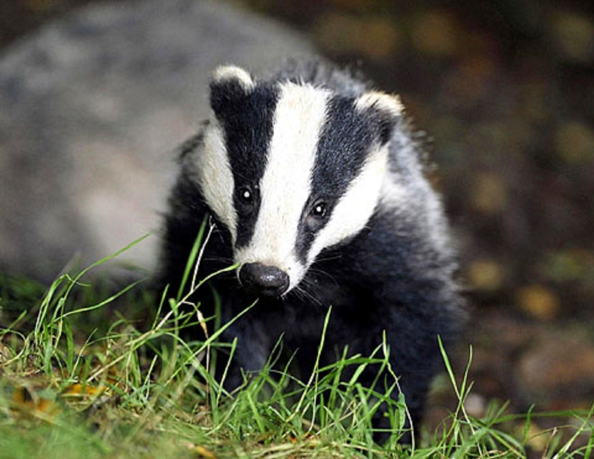 Badger culls 'ineffective'
