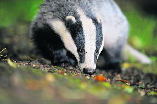 Badger vaccination scheme underway